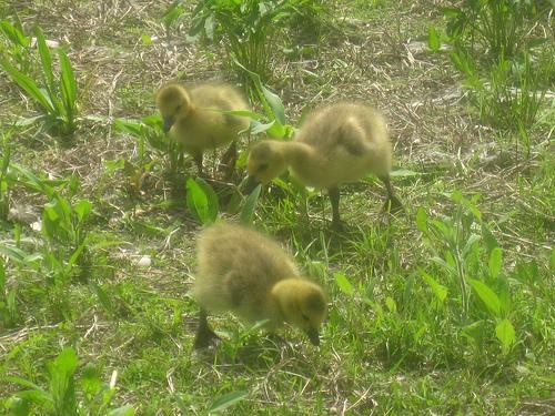 gosling investigators